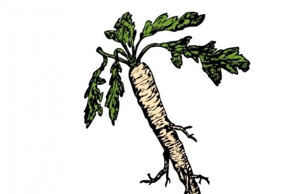 schorseneren-voedselplanten-root-clip-art_72468