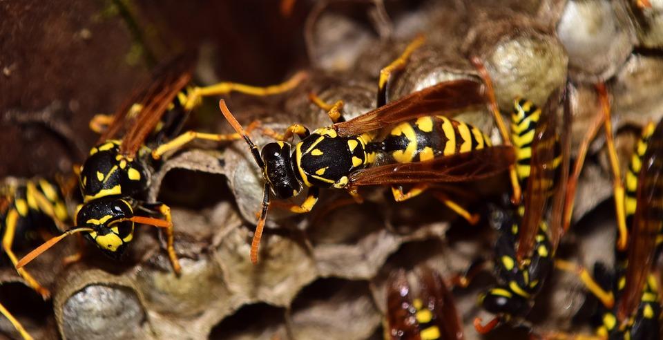 wasps-2702482_960_720