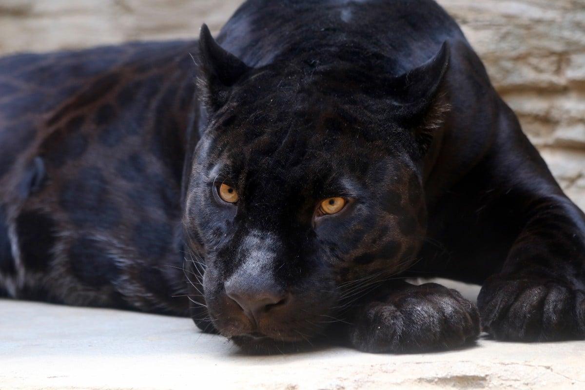 black-panther-3466399